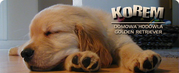 KOREM Golden Retriever